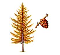лиственница деревья фото и названия